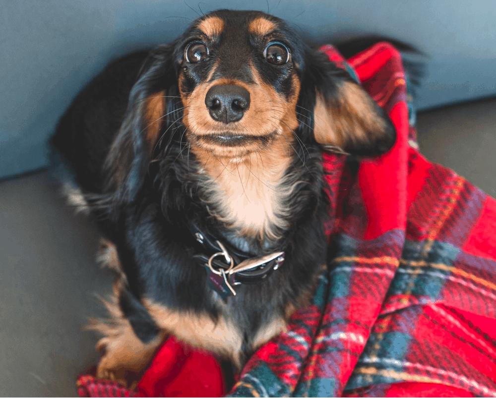 10 month old dachshund Puppy