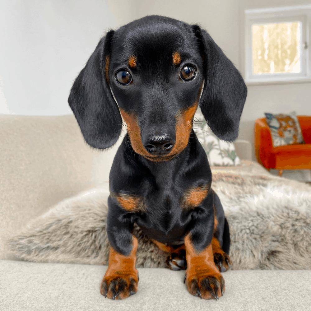 12 weeks old dachshund puppy