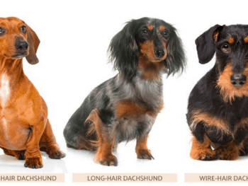 3 Types of Dachshund