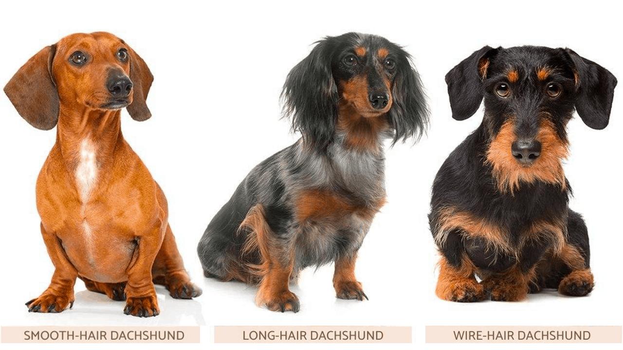 3 Types of Dachshund