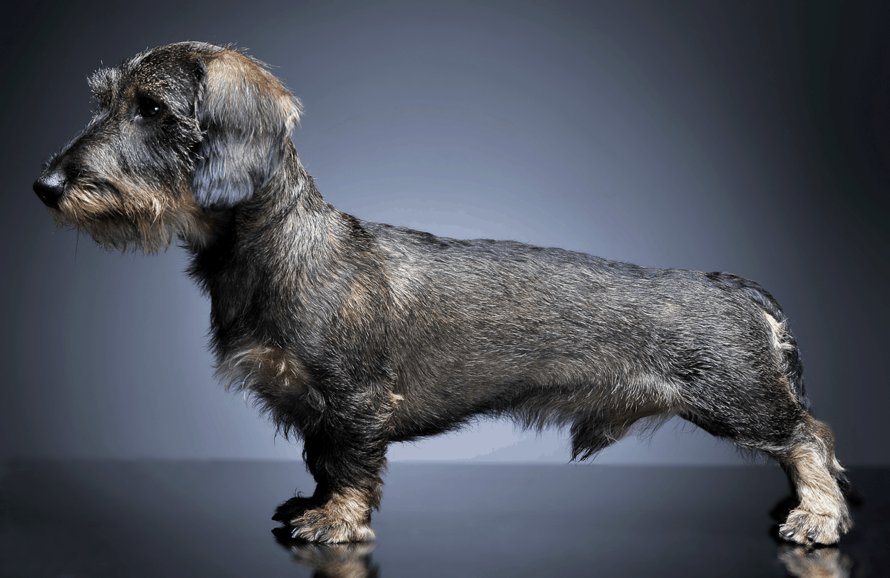 Appearance Wire-haired Dachshund
