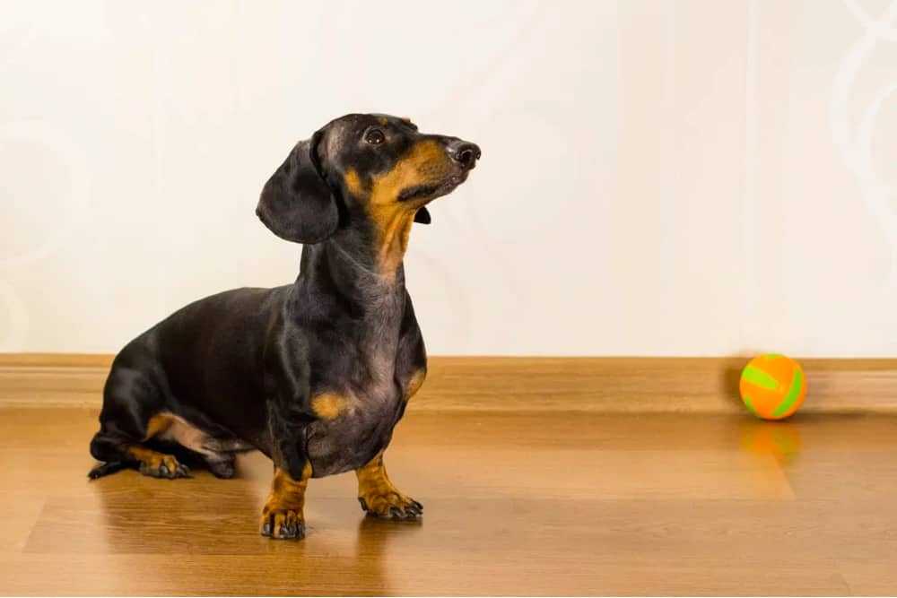 Are you a dachshund person