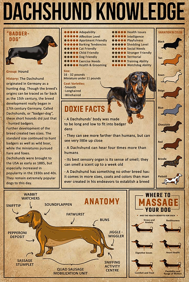 Dachshund Basic Knowledge