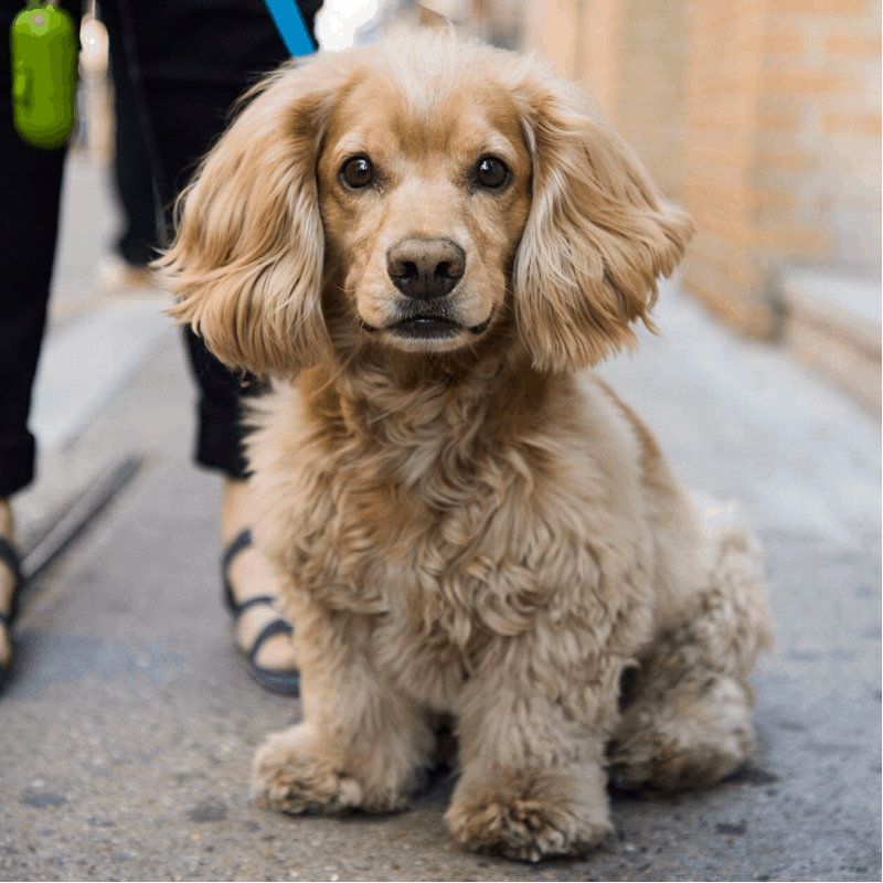 Dachshund Cocker Spaniel Mix