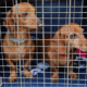 Dachshund Crate Training