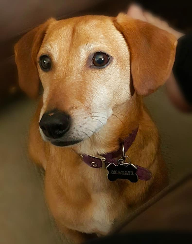 Dachshund Jack Russell Terrier Mix