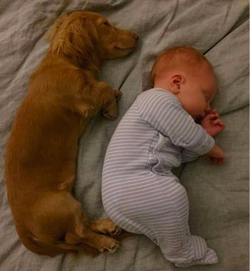 Dachshund is great for Kid