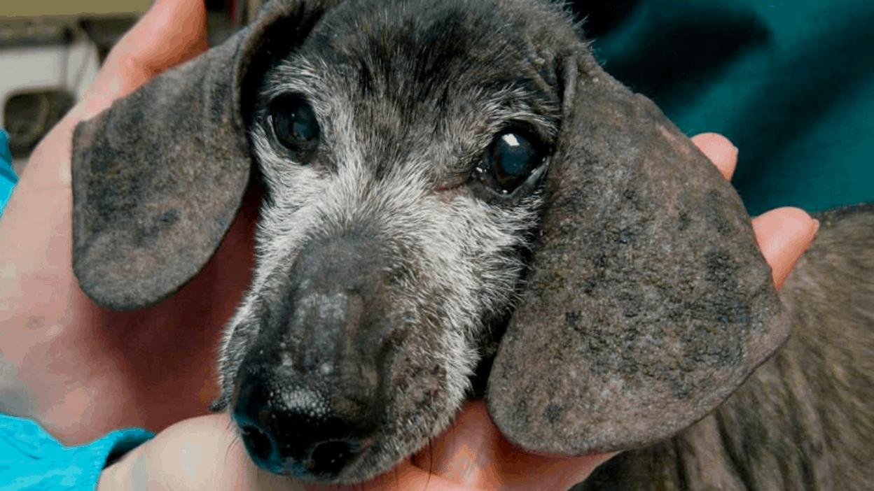 Demodectic Mange in dachshund