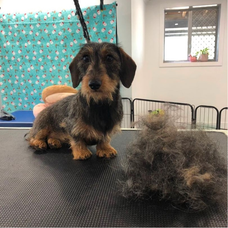 Do Wire-haired dachshunds shed a lot?