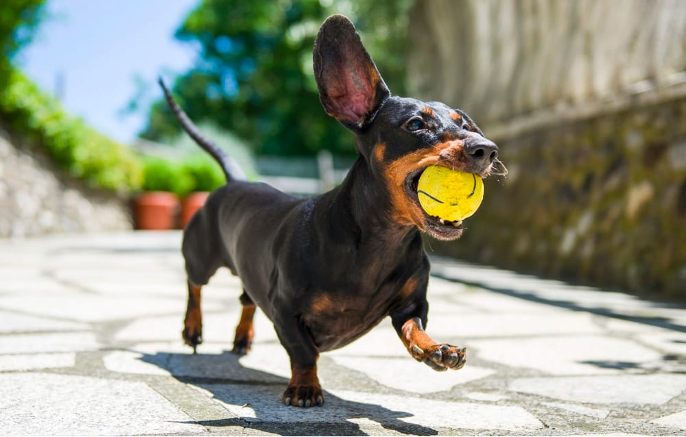 Exercise with Dachshund