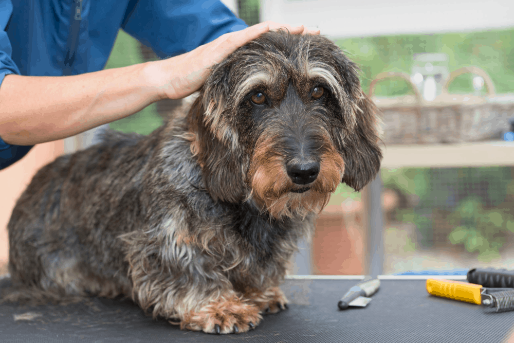 Grooming the Long haired Dachshund