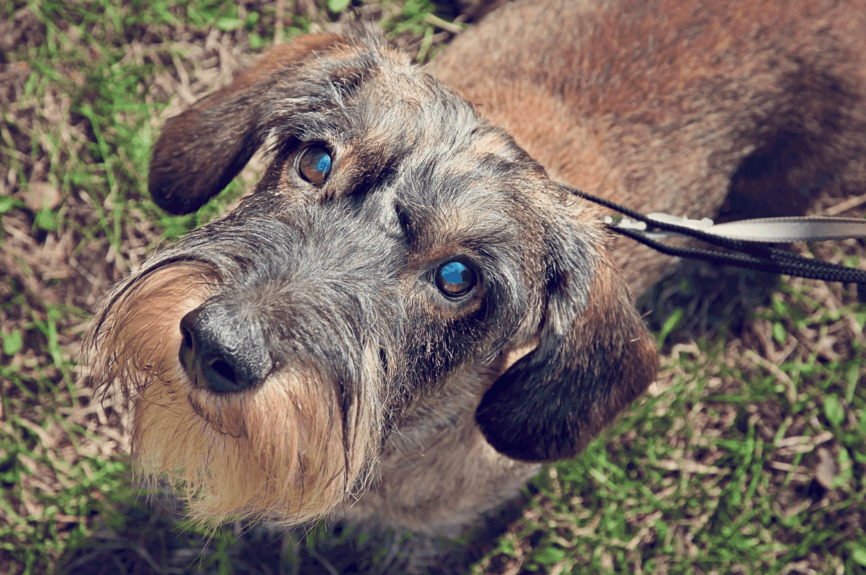 Health Problems in Wire-haired Dachshunds