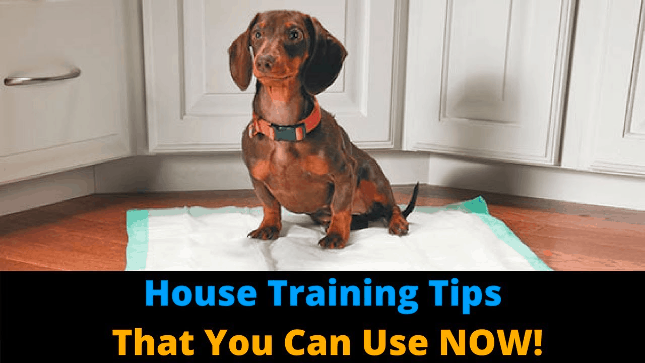Housetraining dachshund