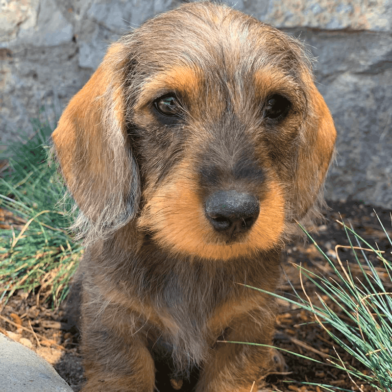 How long wire-haired Dachshund get the full coat