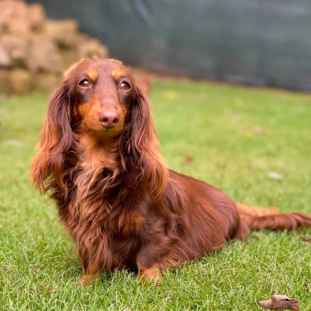 How to Train Long-haired Dachshunds