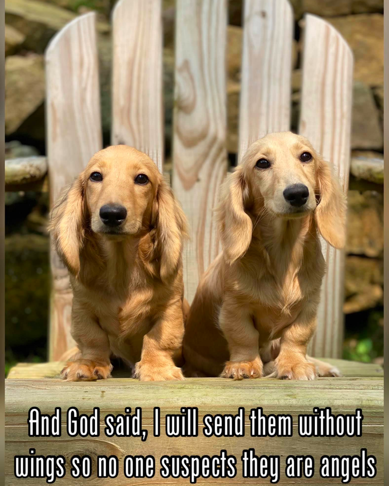 Is Long-haired Dachshund Right for you?