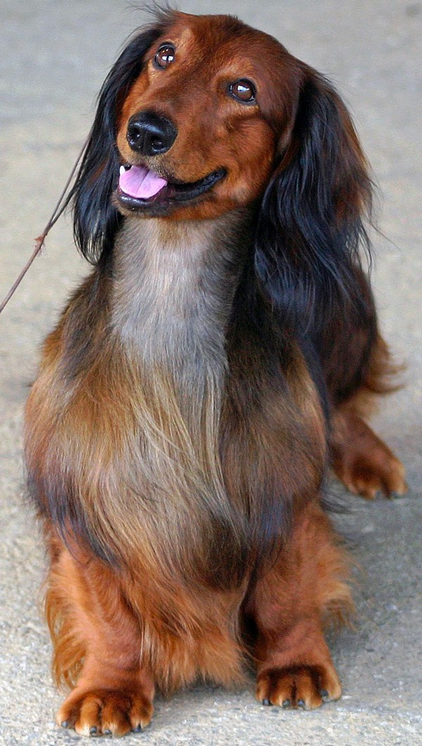 Is a Long haired Dachshund Right for You