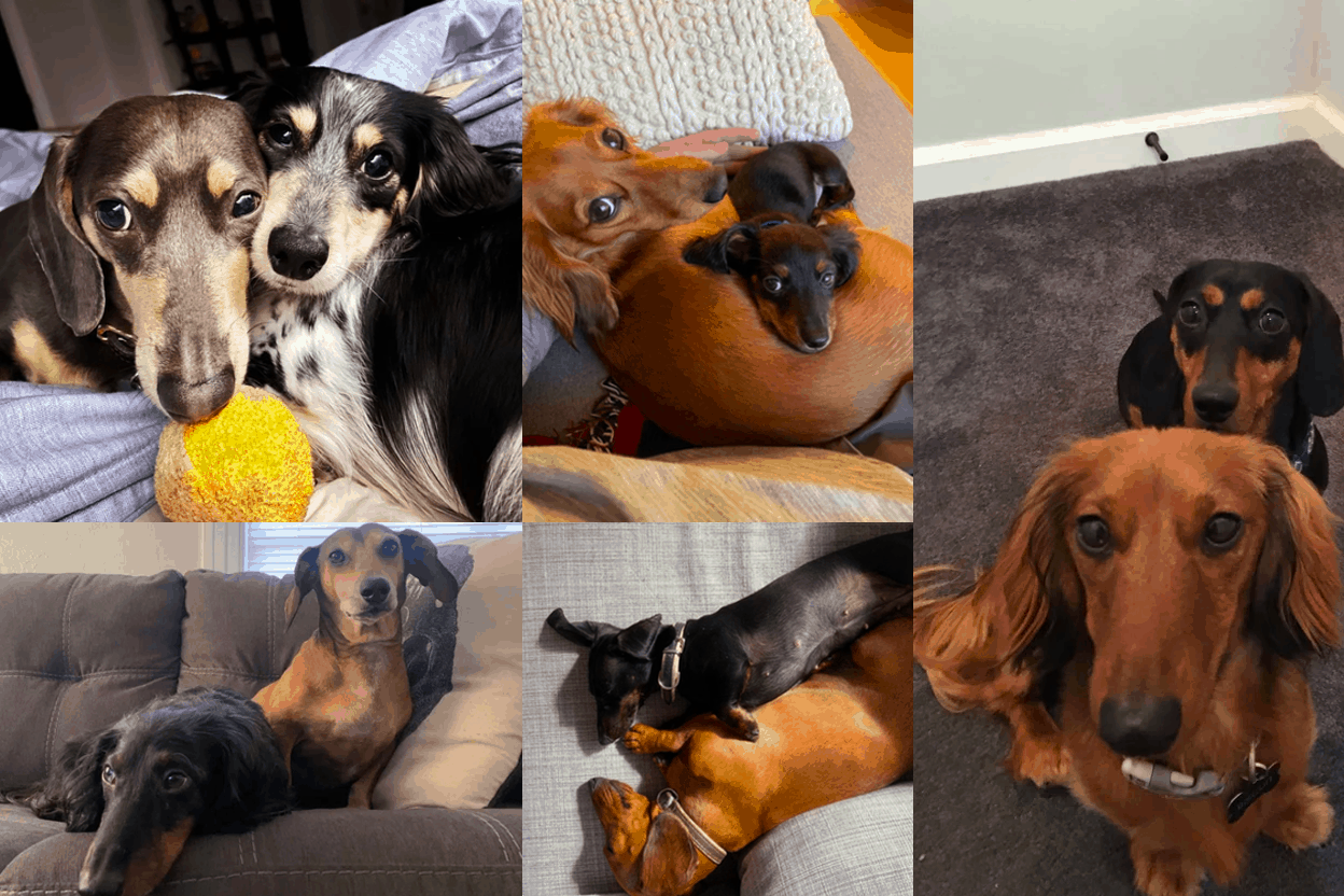 Is it better to have 2 Dachshunds