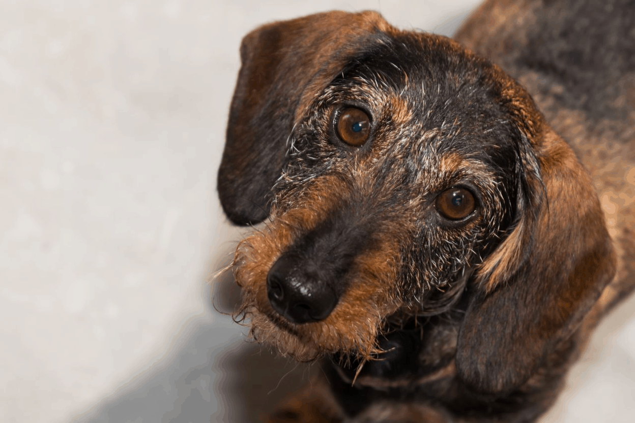Lafora Disease in Wirehaired Dachshunds