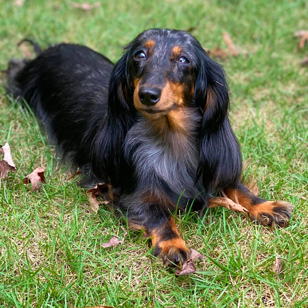 Long-haired Dachshunds Exercise Need