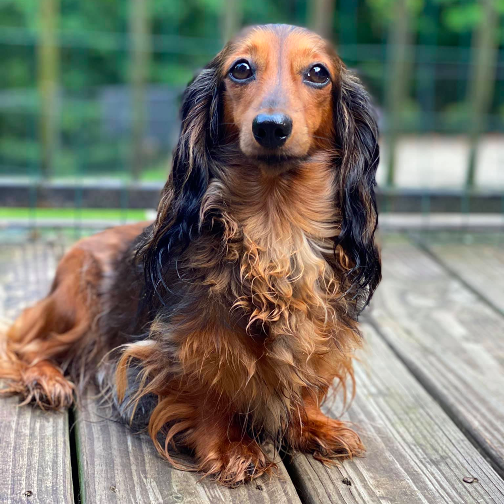 Do Long-haired Dachshunds Shed a lot?