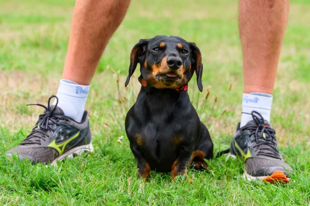 Run with Dachshund
