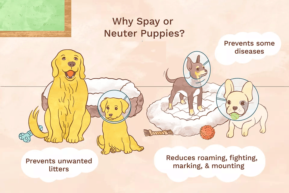 Spaying and Neutering Your Dog