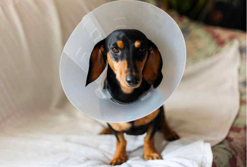 Cone collar for Your Dachshund after Spaying or Neutering