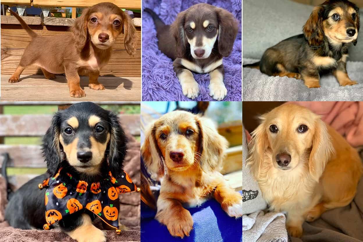 Wiener Puppies