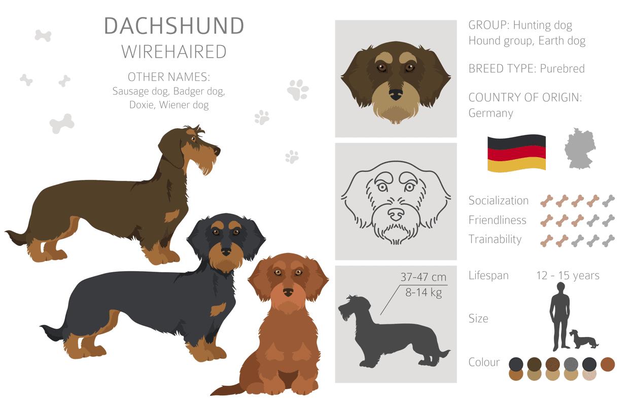 Wire Haired Dachshund Breed Info