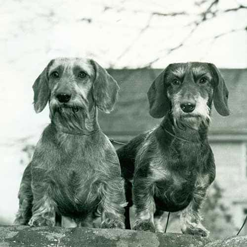 Wire haired Dachshund History