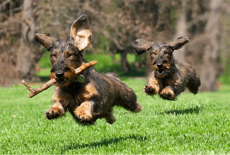 Wire-haired Dachshunds Playing
