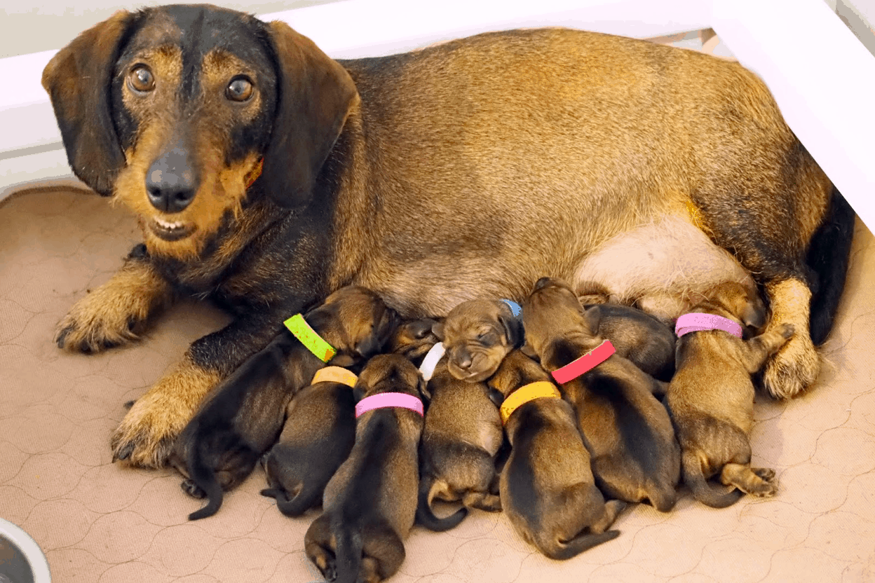 Dachshund Pregnancy & Whelping