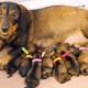 Dachshund Pregnancy & Whelping