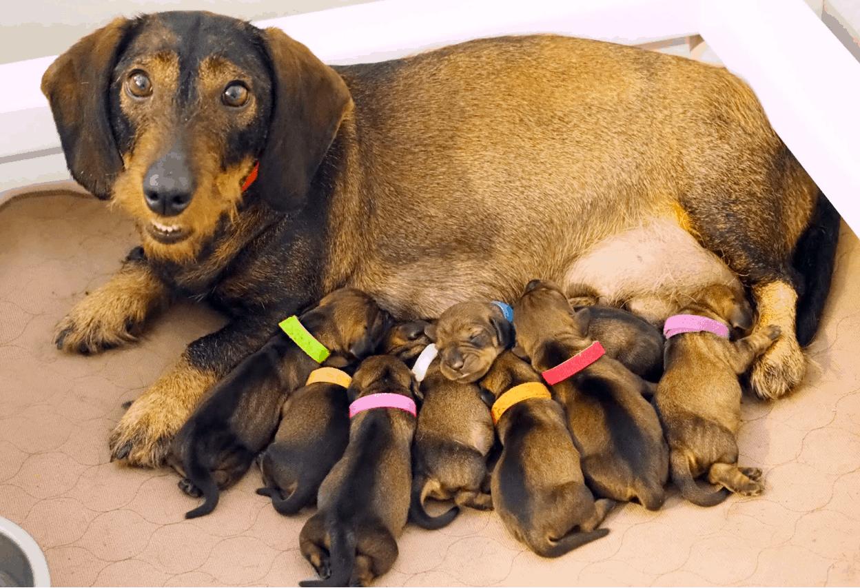 Wire haired dachshund breeder
