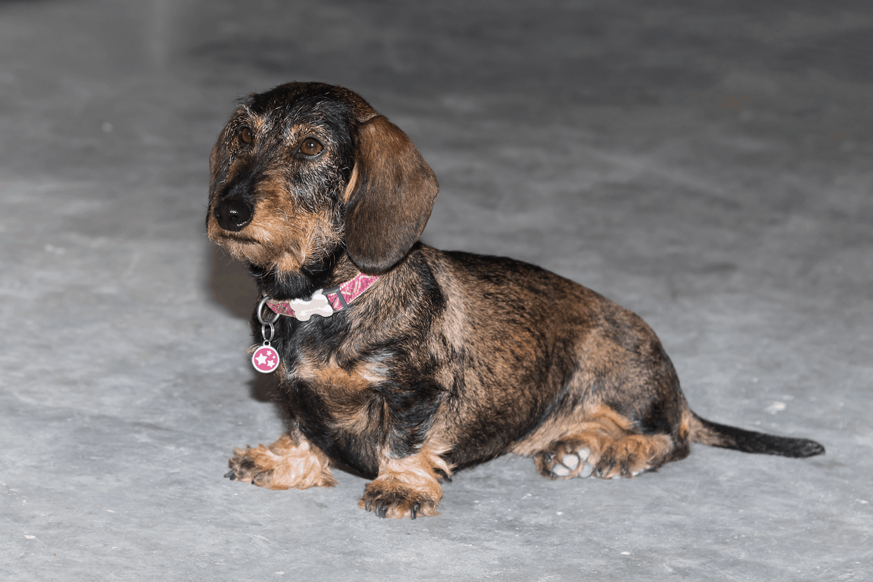 brindle miniature wire-haired dachshund