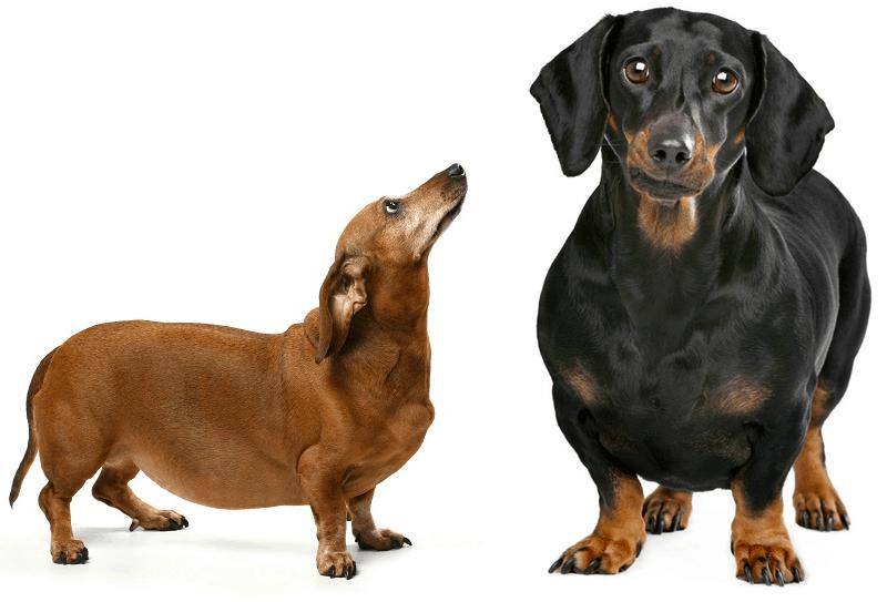 dachshund obesity