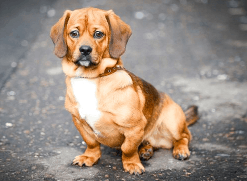 dachshund pug mix