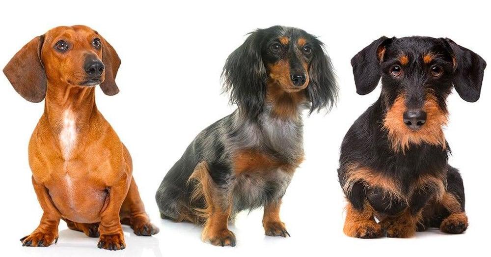 dachshund rescue