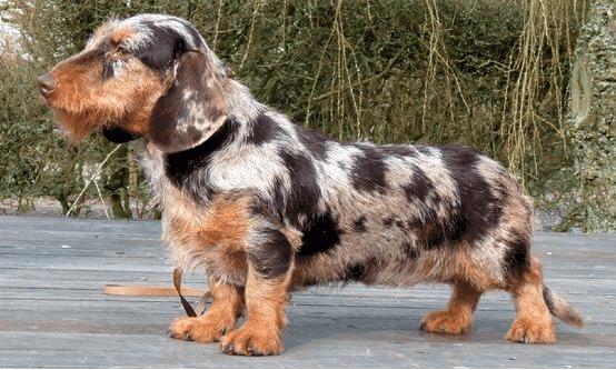 dapple wire haired dachshund