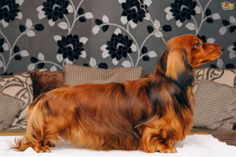 long haired dachshund appearance