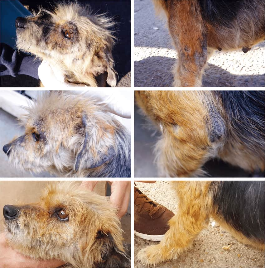 sarcoptic mange in dogs