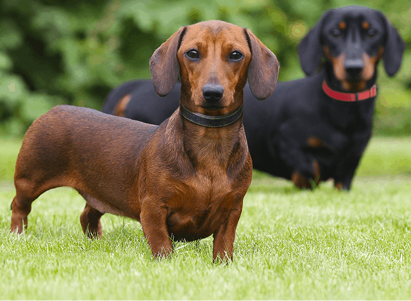 short haired Doxie