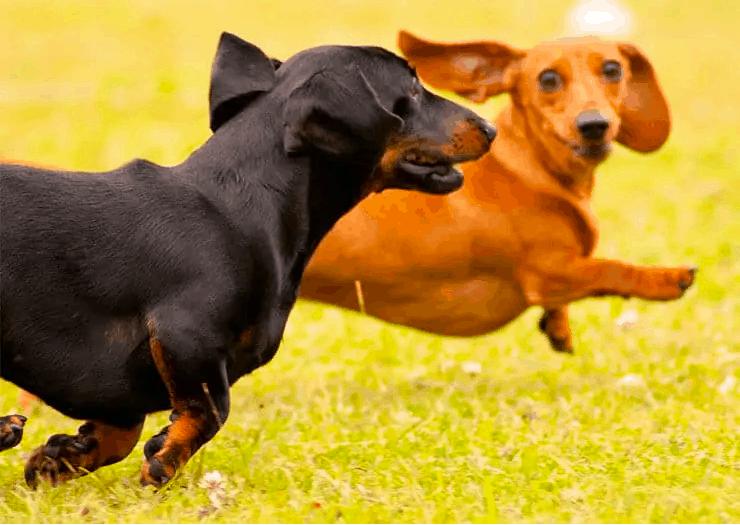 smooth dachshund exercise needs