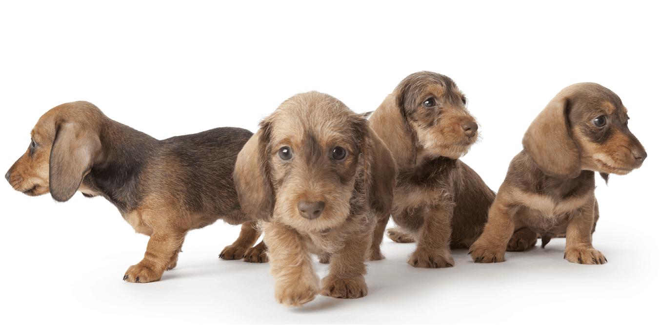 wire-haired dachshund puppies