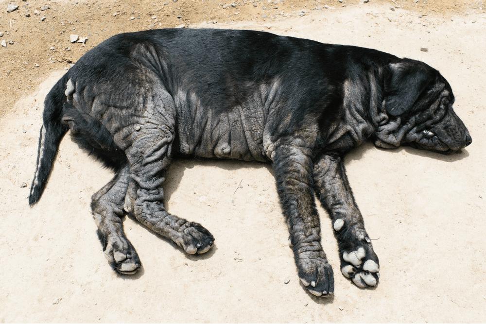 yeast infection dachshund skin