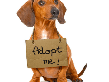 Adopt a doxie