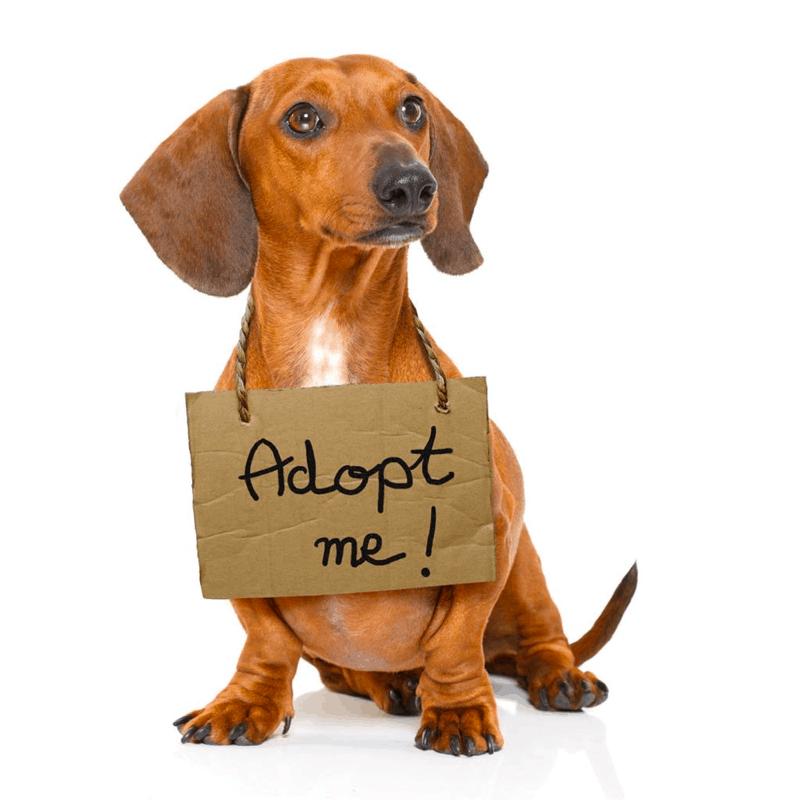 Adopt a doxie