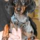 Adopt adult dachshund