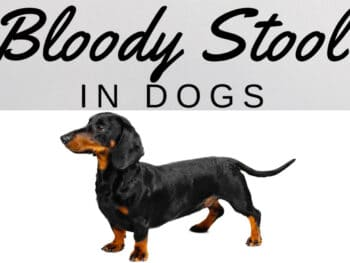Bloody Stool in Dachshunds